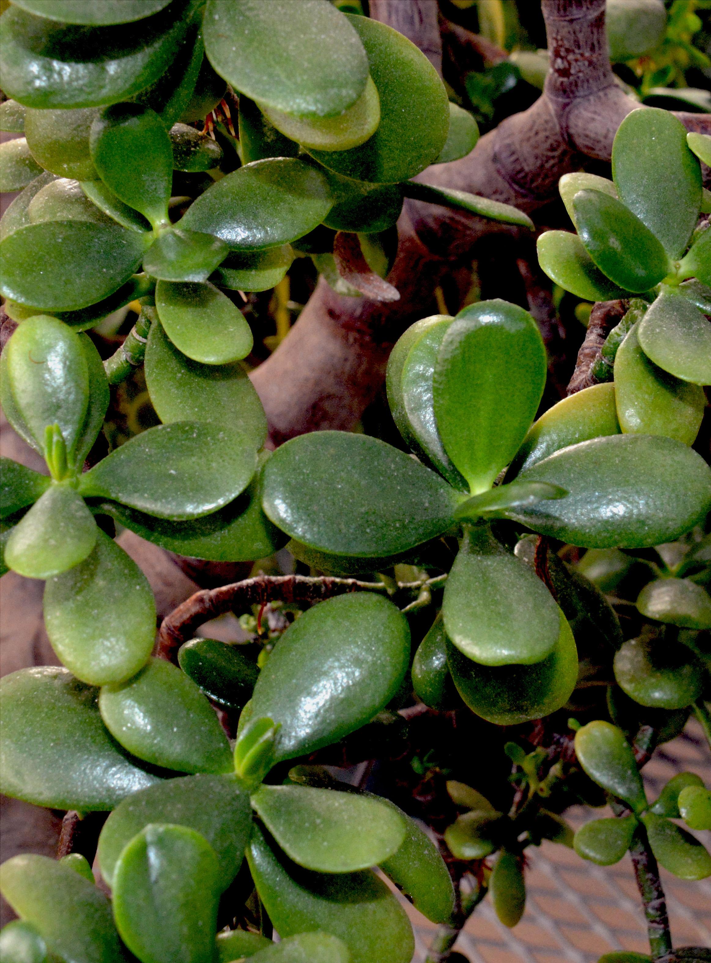 Jade plant, Crassula ovata