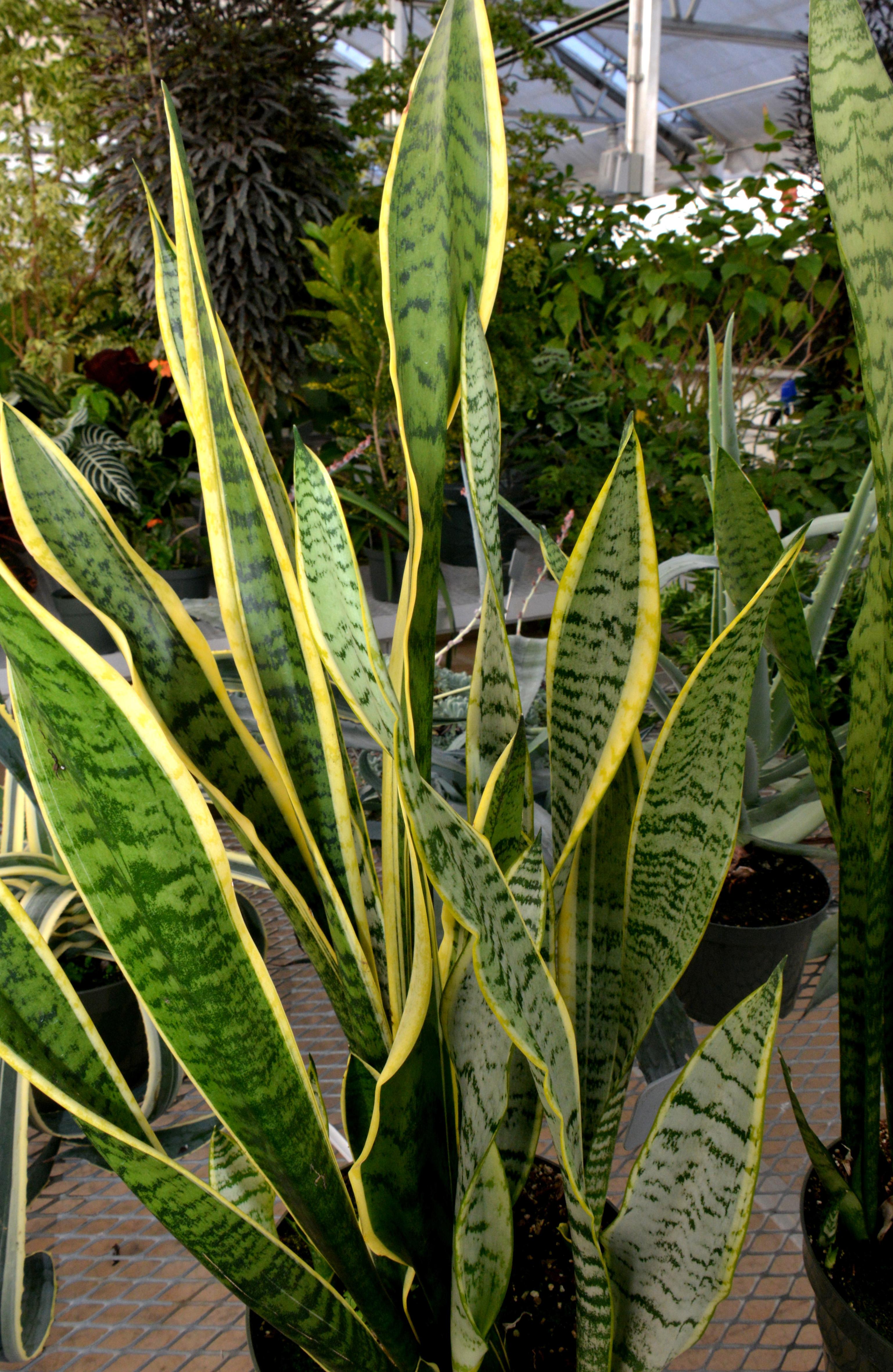 Snake Plant, Sansevieria trifasciata