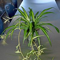 HouseplantSpiderPlant
