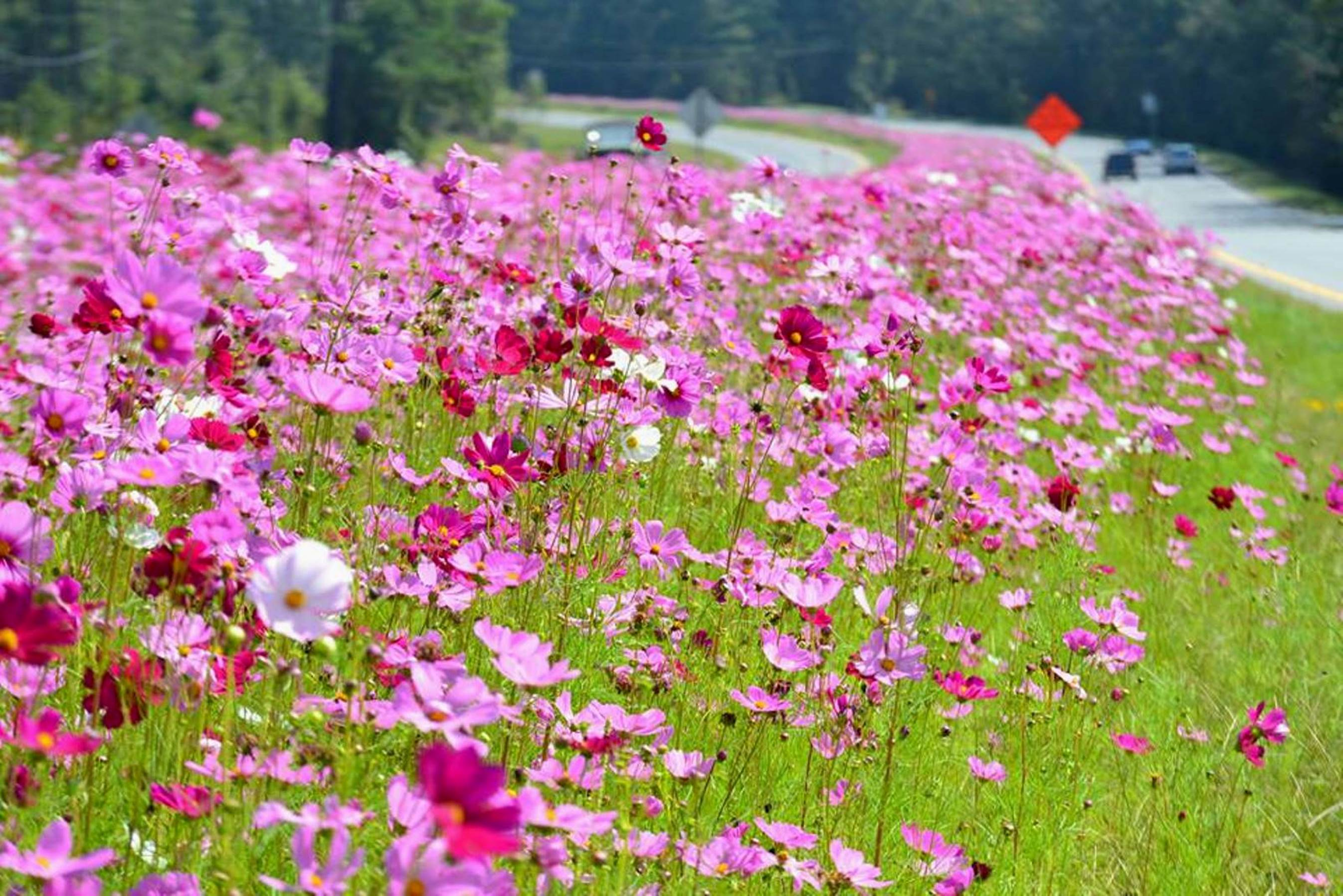 Caes newswire roadside show georgia highways dazzle with color from old fashioned cosmos these flowers arent perennials but they do come back through reseeding izmirmasajfo Gallery