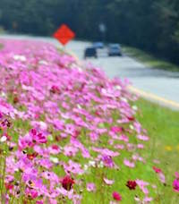 Georgia highways dazzle with color from old-fashioned cosmos. These flowers aren't perennials, but they do come back through reseeding.