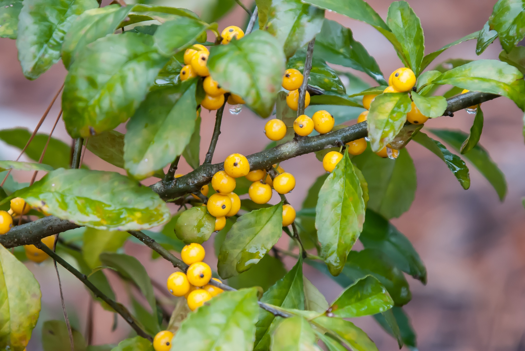 Though the leaves haven't fallen, this Finch Gold possumhaw holly is already showing out with branches filled with golden berries.