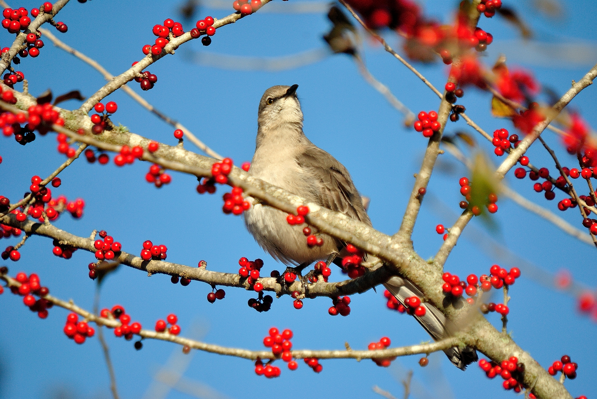 Birds love deciduous holly berries like this possumhaw and the winterberry that are available in both red and gold selections.