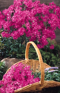 There is something special about cutting flowers from your own garden and sharing them with friends and family. For cut flowers, the Bouquet dianthus series is an excellent choice. UGA Extension experts recommend that stems be cut when three flowers are fully open.