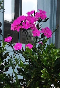'Bouquet Rose' dianthus makes a perfect partner for this planter box containing Delta Pure Color Mix pansies.