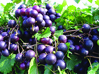 The upcoming UGA Summer Muscadine Conference will include a tour of the newly planted 'Carlos' and 'Paulk' muscadine research vineyard at UGA's Durham Horticulture Farm. 'Carlos' and 'Paulk' (pictured) are the two most popular muscadine varieties grown by Georgia growers.
