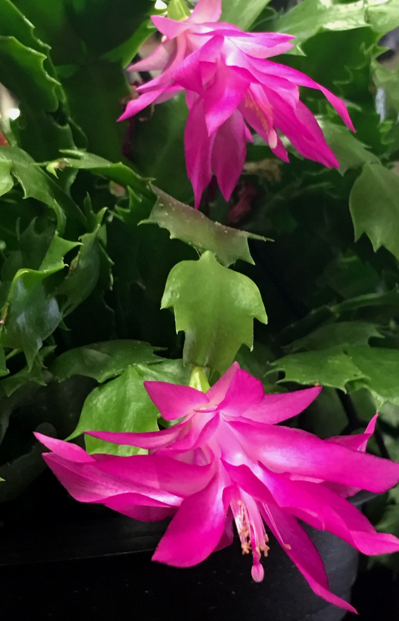 The Christmas cactus is made up of colorful, iridescent bracts. This true cactus, minus thorns, is native to the South American rainforest.