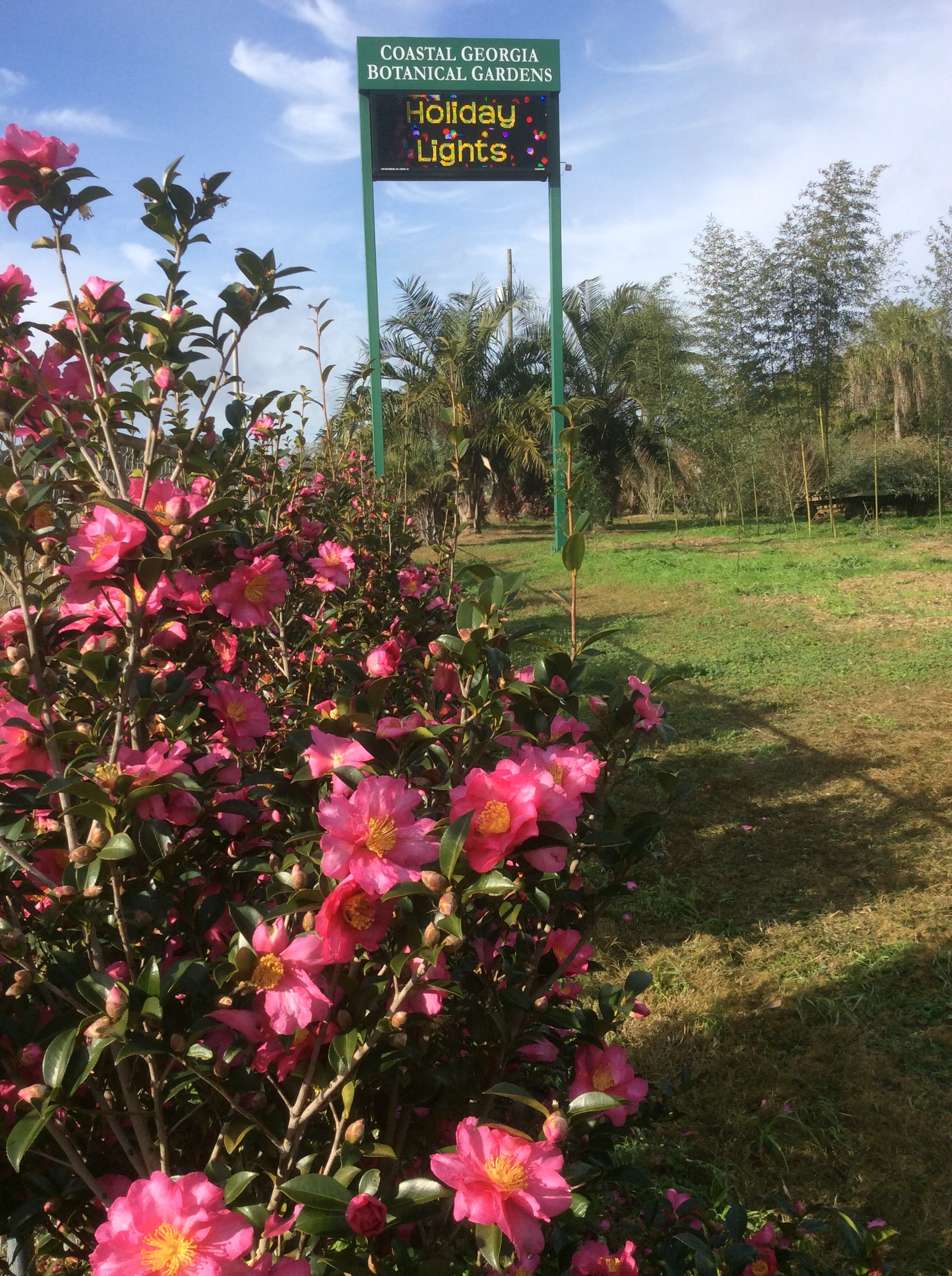 Hundreds of 'Kanjiro' camellias have been planted as a screen at the University of Georgia Coastal Georgia Botanical Gardens in Savannah, Georgia.