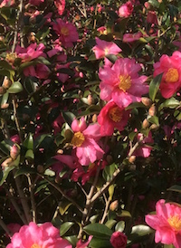 Hundreds of 'Kanjiro' camellias have been planted as a screen at the University of Georgia Coastal Georgia Botanical Gardens in Savannah, Georgia.