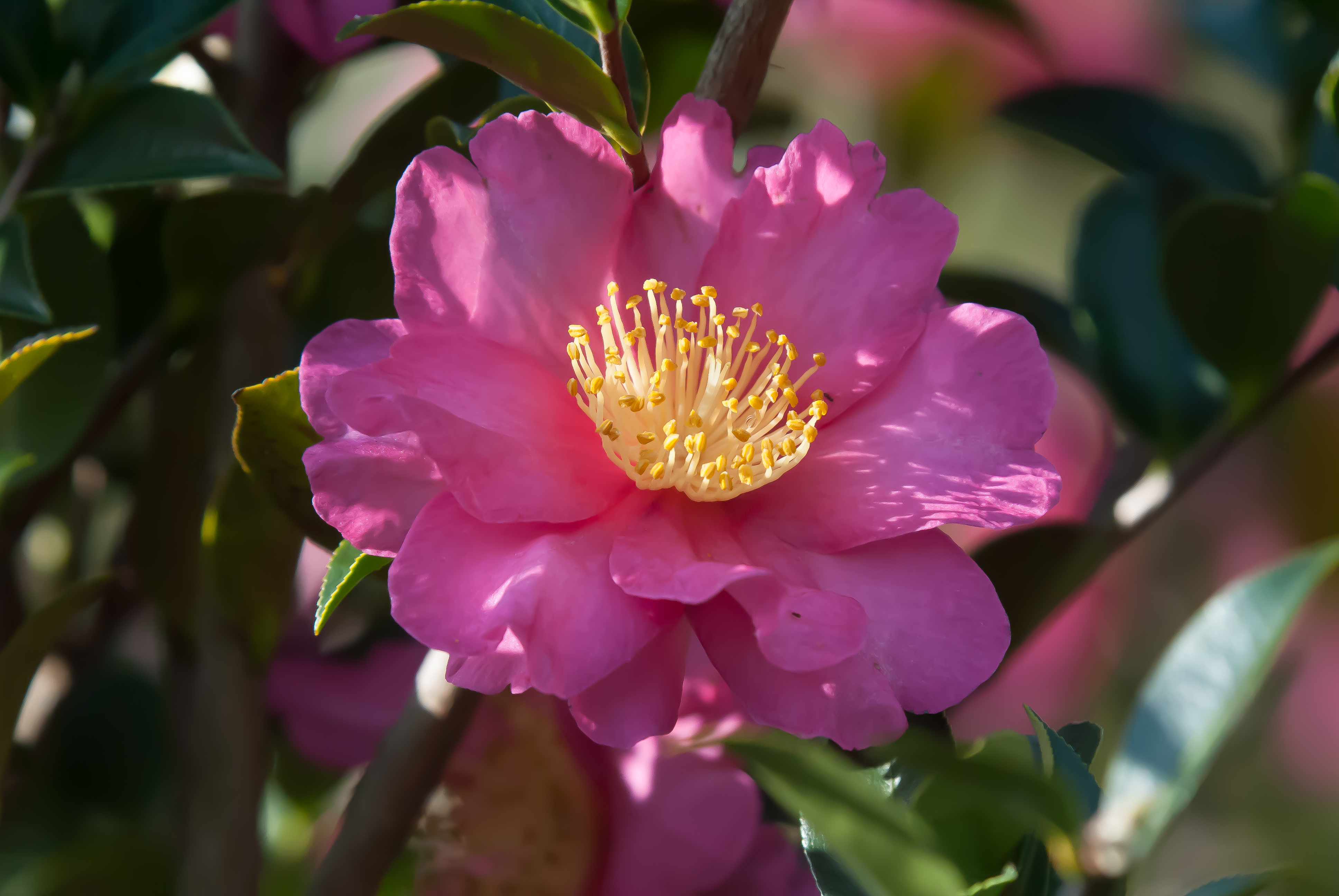 The blooms of the 'Kanjiro' camellia bring in an assortment of pollinators.
