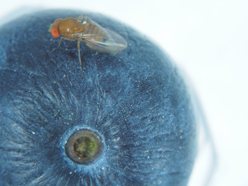 Spotted wing drosophila on a blueberry.
