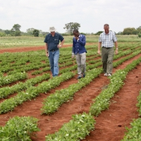Dave Hoisington, then-director of the Peanut & Mycotoxin Innovation Lab (at left), and North Carolina State University entomologist Rick Brandenburg, walk through a student's peanut trials near Lilongwe, Malawi in February 2016. UGA recently was awarded another five year program to work with scientists in the U.S. and partner institutions abroad to increase food security through peanuts.