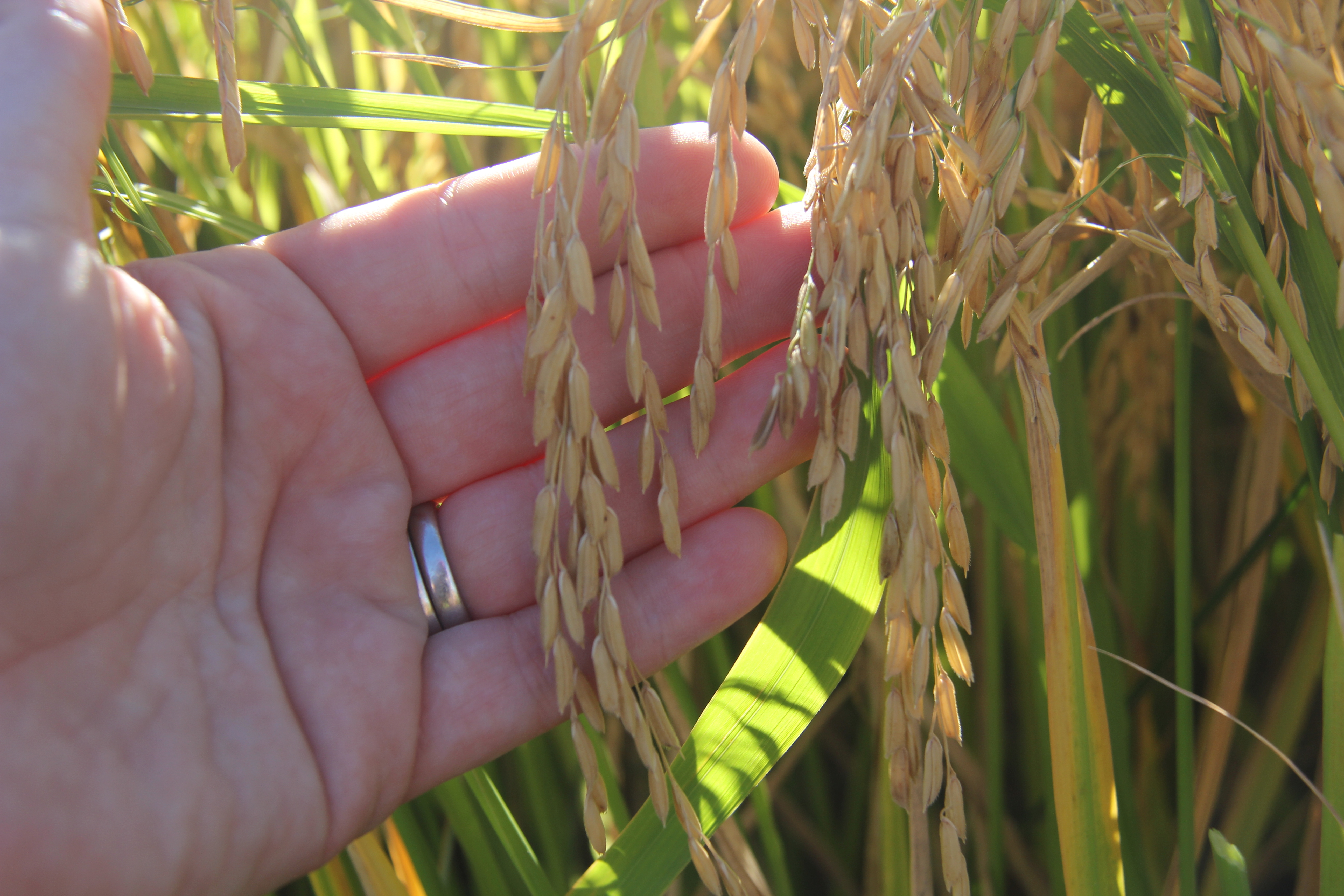 Scott Jackson, director of the University of Georgia Center for Applied Genetic Technologies (CAGT) in the College of Agricultural and Environmental Sciences, helped to map these genomes as part of the international Oryza Map Alignment Project (OMAP).
