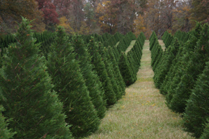 Leyland Cypress trees growing on a Christmas Tree Farm in Nicholson, GA. 7 G's Tree Farm.  11-11-09