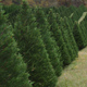 Leyland Cypress trees growing on a Christmas Tree Farm in Nicholson, GA. 7 G's Tree Farm.  11-11-09