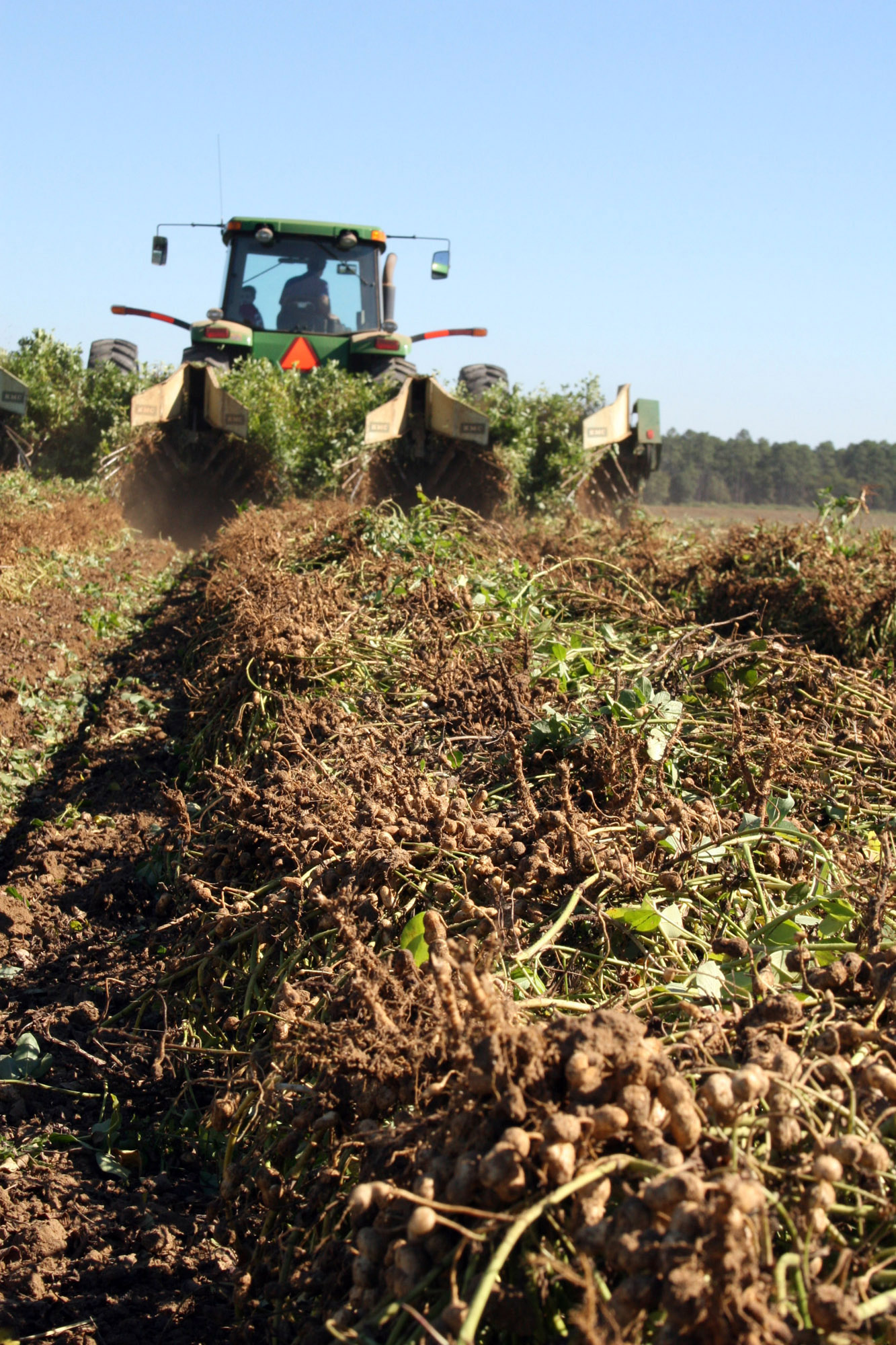Since July, white mold has caused problems for peanut growers.
