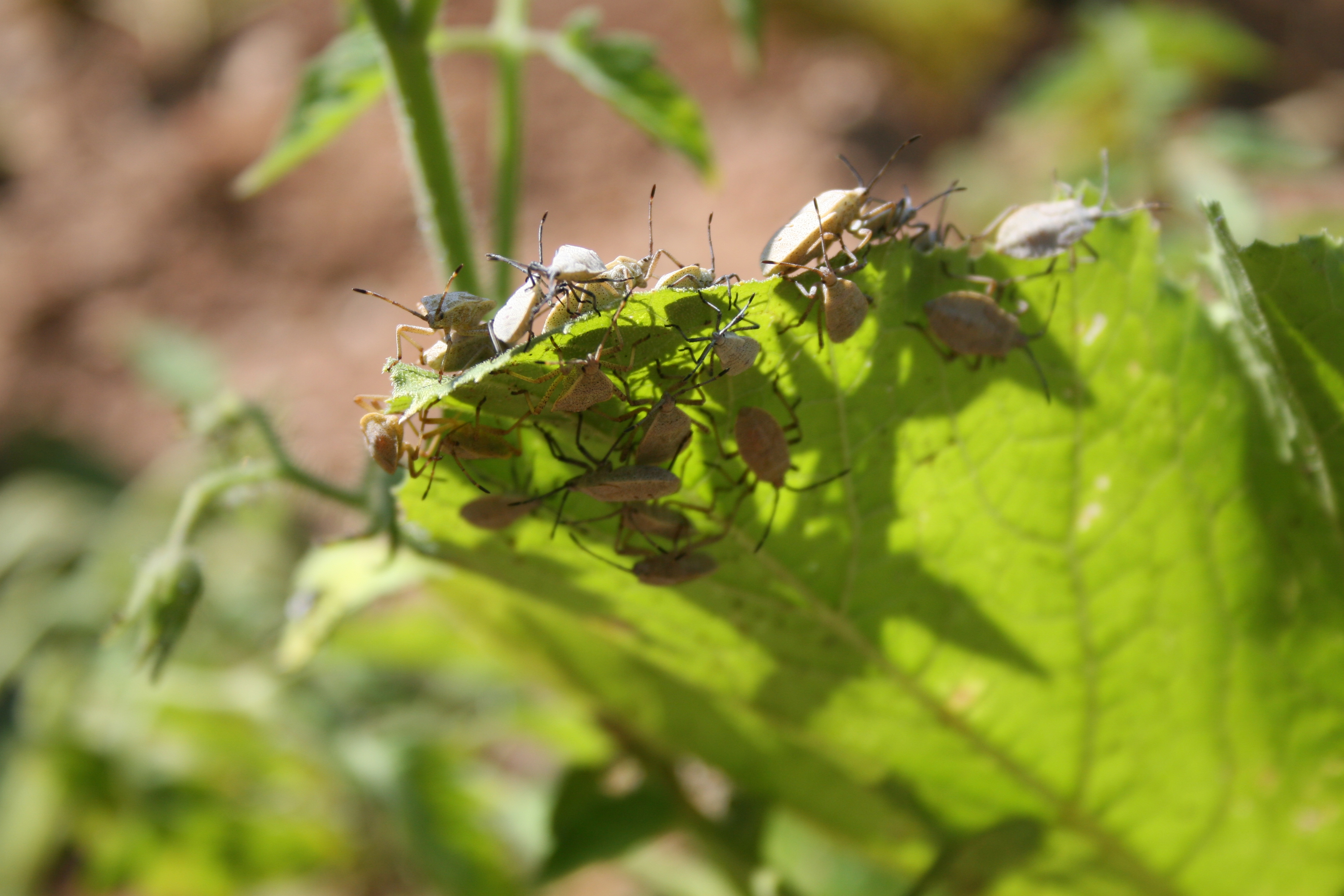 Immature squash bugs feast on the leaf of a yellow squash plant