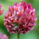 Planting a cover crop, like clover, in the fall can feed the soil for your spring garden.