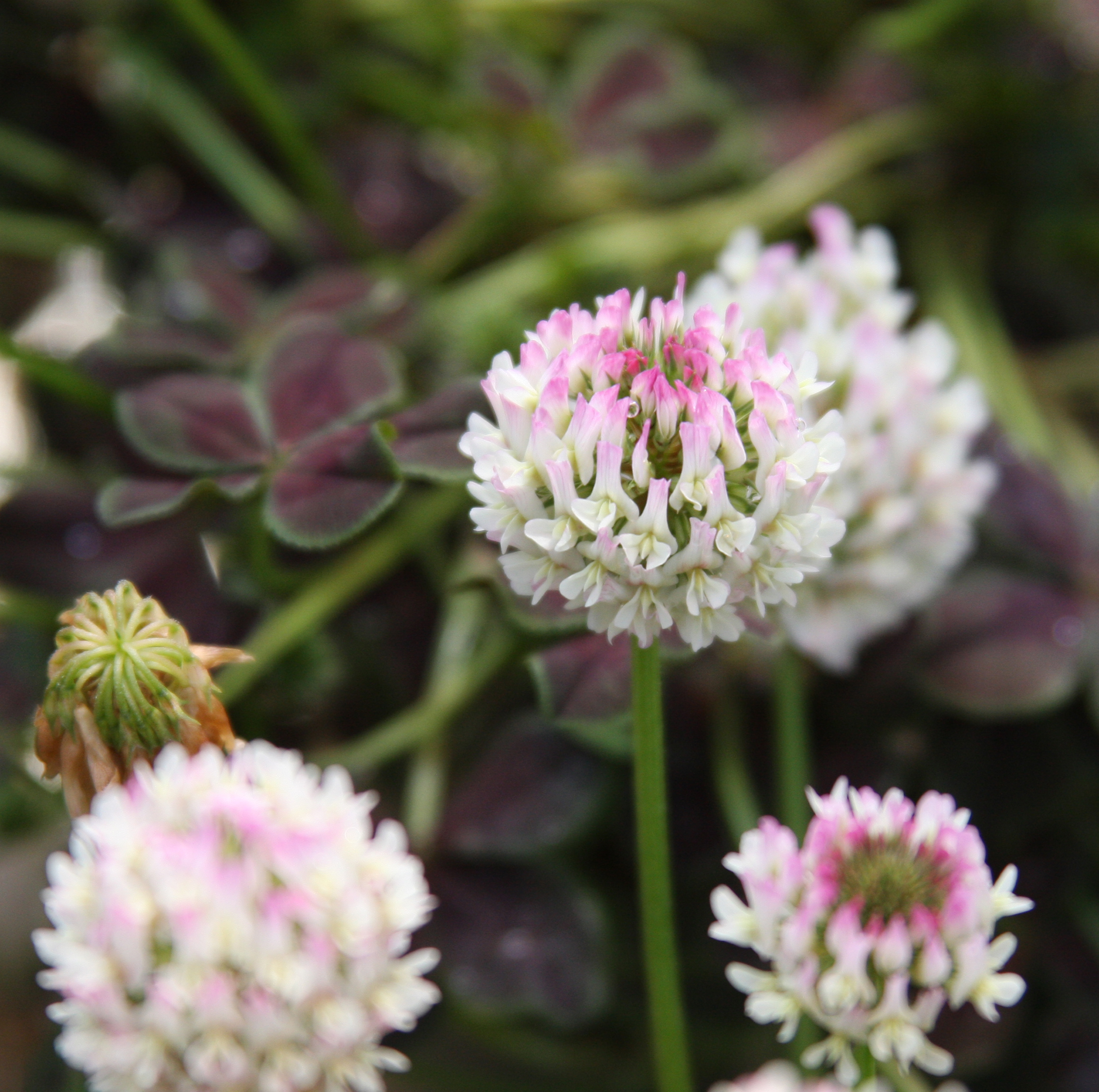 Pink flowers and five-leafed clover sprigs are two of the traits UGA crop and soil scientist Wayne Parrott hopes to breed into future clover plants.
