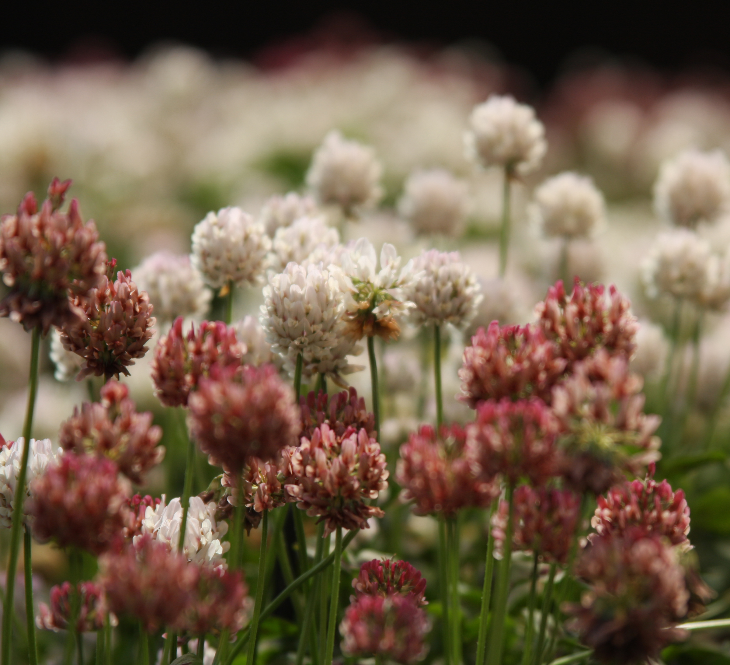 Deep pink flowers on this clover differ from the plant's typical white flowers.