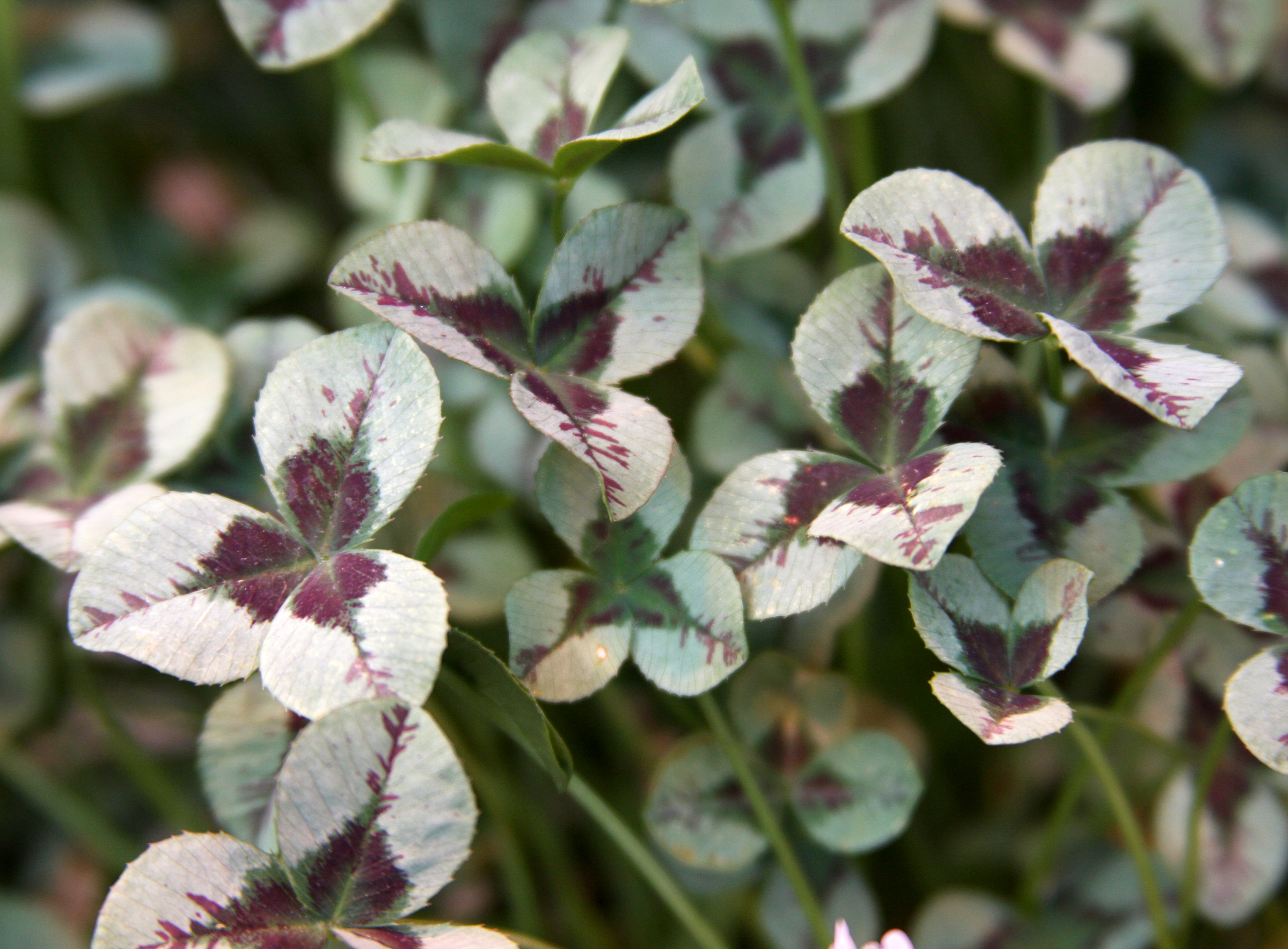 Three-leafed clover can also add unusual color to a garden.
