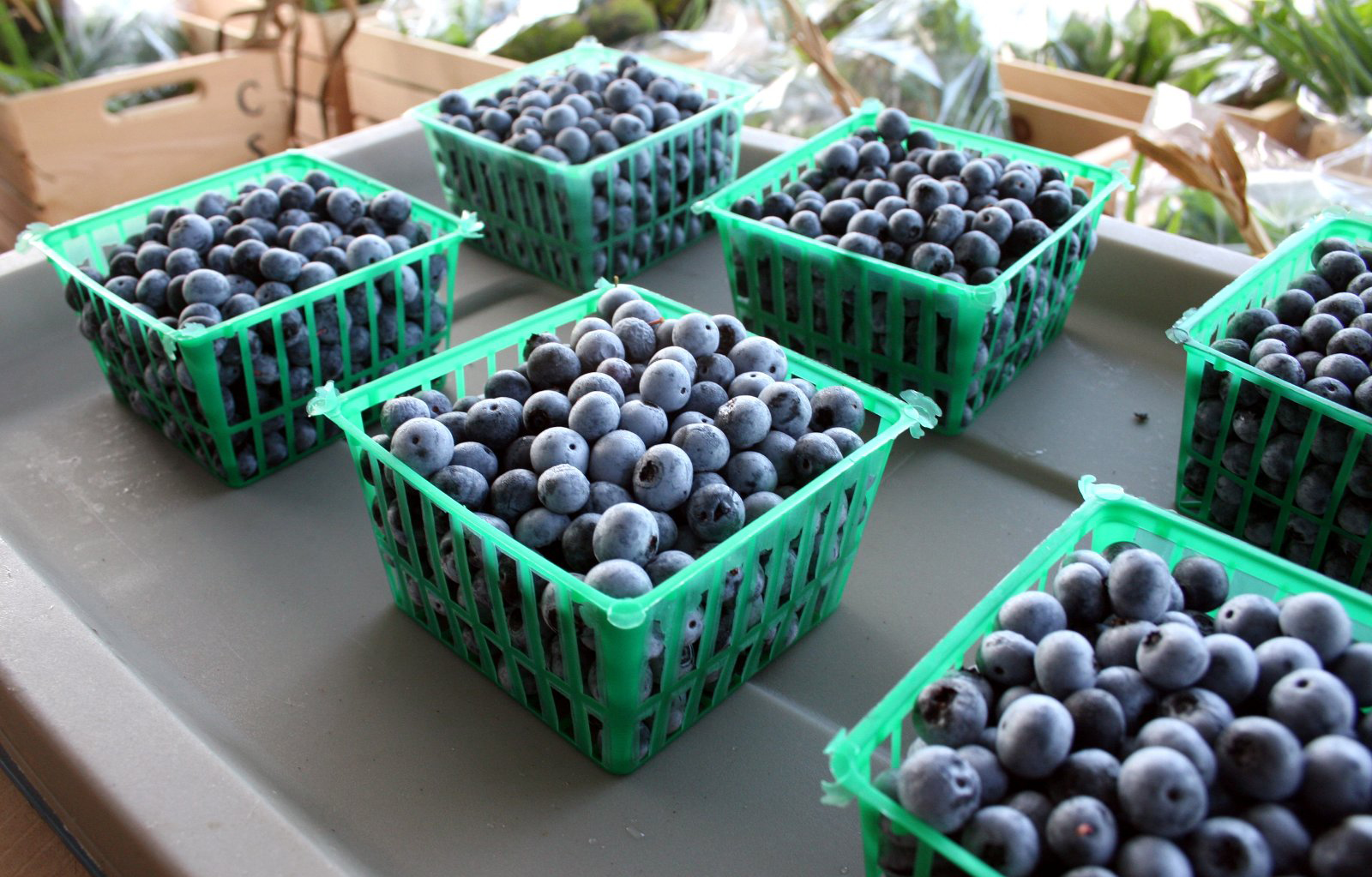 Freshly picked blueberries sit in baskets at the University of Georgia horticulture farm in Athens, Ga.