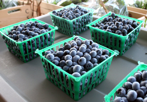 Fresh blueberries 1