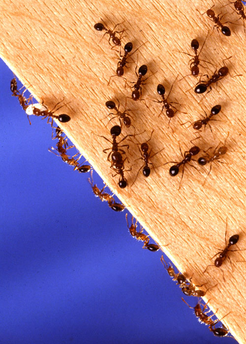 Fire ants scurry along a piece of wood