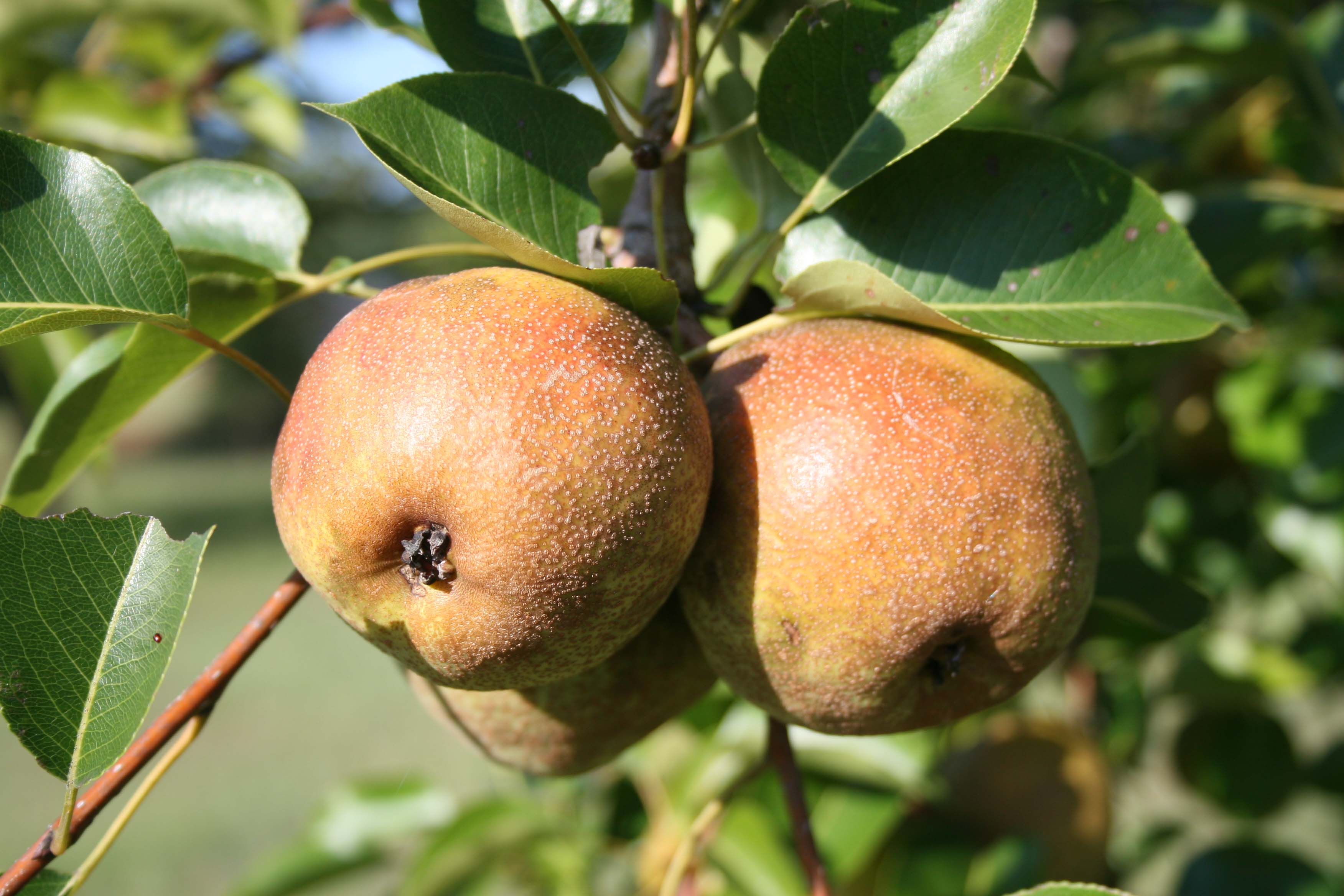 Adding pear, apple and other fruit trees to your landscape not only makes it beautiful, it makes it edible.