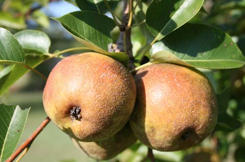 Pears hang from a tree in a middle Georgia home landscape.