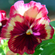 Pansies not only add color to a landscape. They can add color to a dinner plate. Gently rinse fresh blooms and drain. Add to salads, as a decorative plate garnish, or decorate cakes.