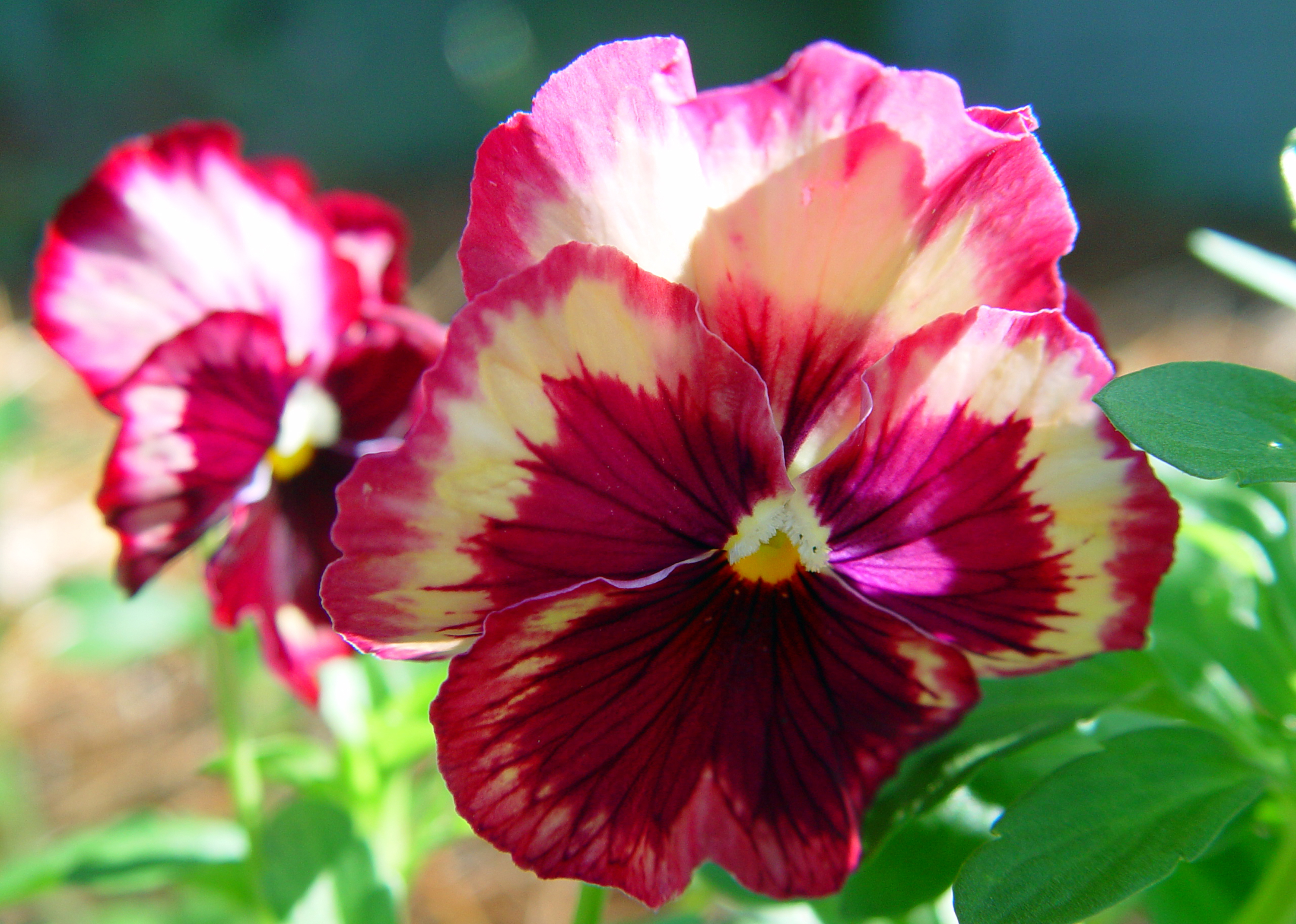 Pansies come in a wide variety of colors - and shades, like this tricolor variety that has two colors along with its face color.