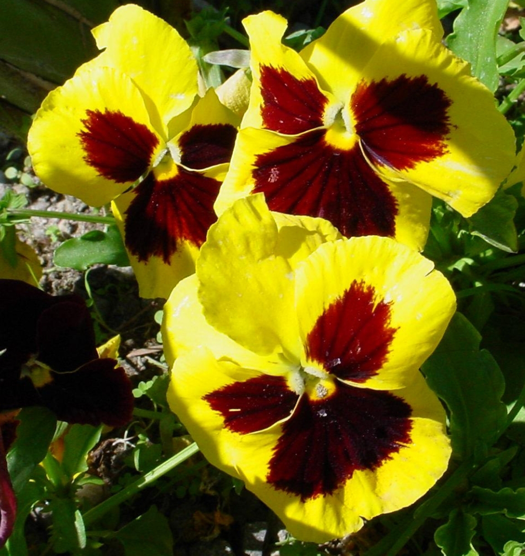 These yellow-faced pansies are classic winter flowers, ready to plant in Georgia between middle September and the first of November, depending on the planting zone.