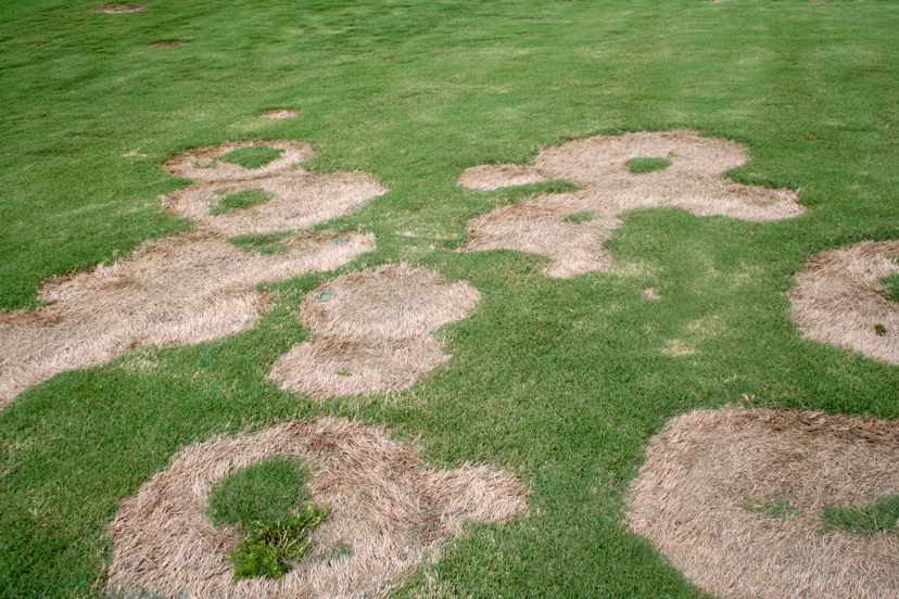 Spring dead spot is one of the most common diseases of bermudagrass in Georgia. It occurs most on intensively maintained lawns and golf courses.
