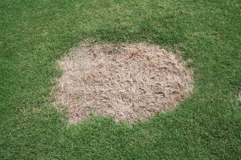 Close-up image of spring dead spot disease.