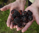 To bring roadside blackberry patches home, plant blackberry plants in your landscape. University of Georgia experts recommend errect varieties like Navajo, Arapaho and Kiowa.