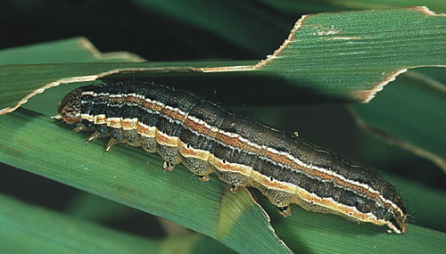 Fall army worms are active at night and their favorite food is turfgrass.