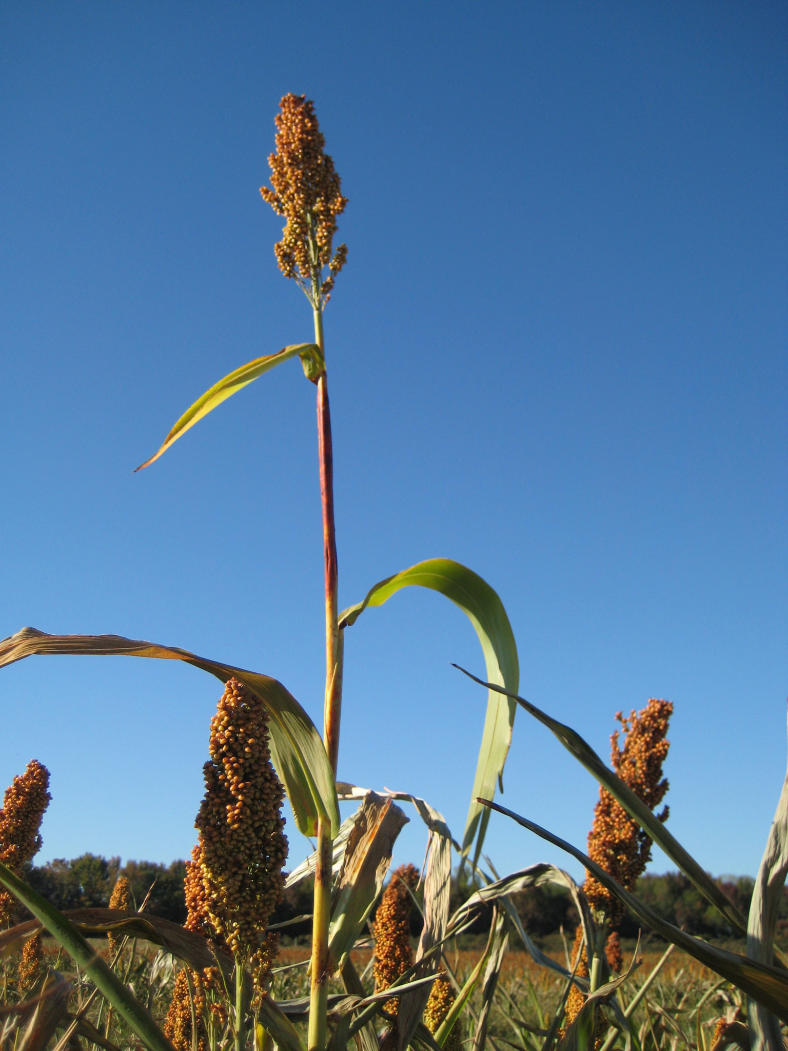 Sorghum plant growing in the field.