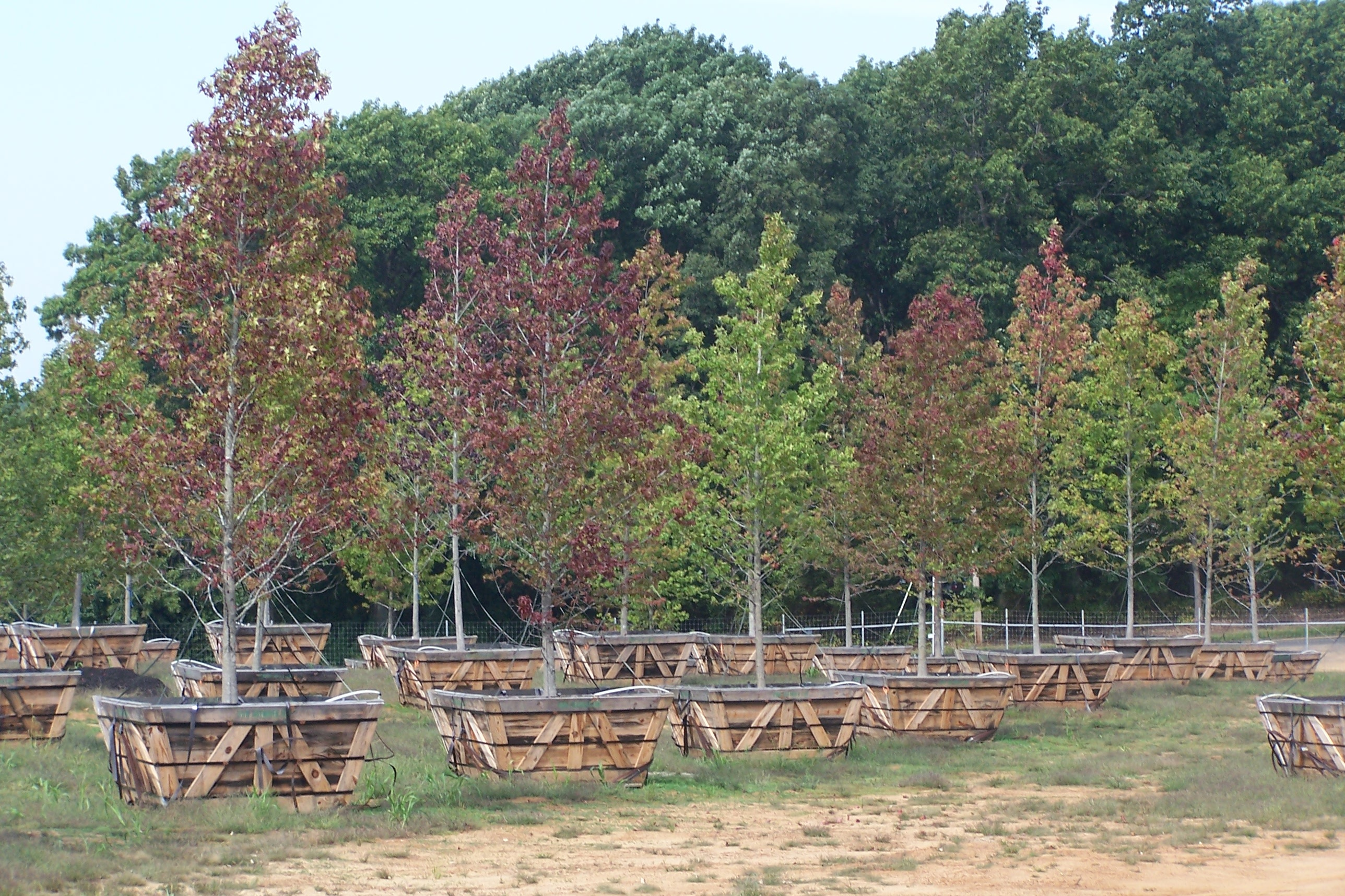 White swamp oaks are cared for Bartlett Tree Experts at a New Jersey nursery before being planted at the 9/11 memorial site. Trees are selected for specific characteristics, like good fall color.