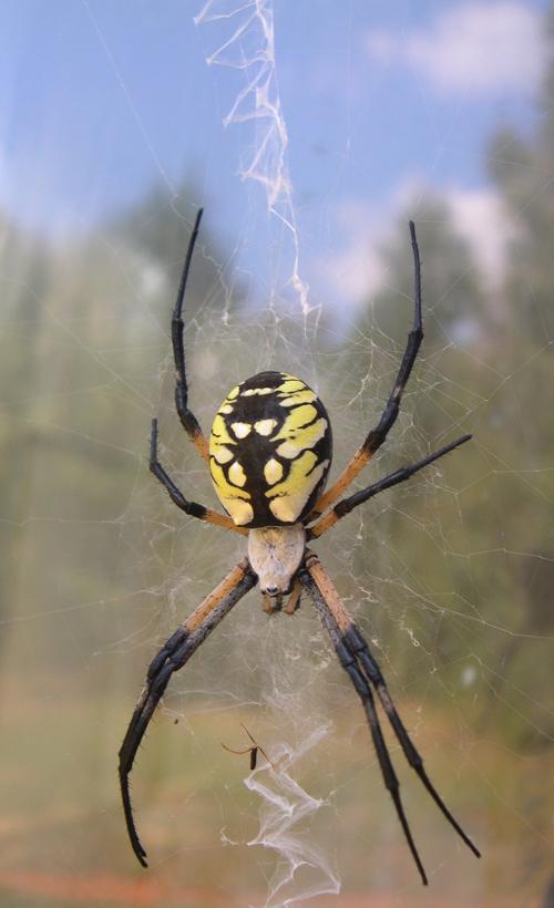 Female Golden Garden Spider