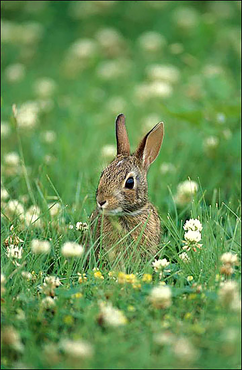 The fictional Peter Rabbit isn't the only rabbit that enjoys munching in vegetable gardens. To keep rabbits out of home gardens, University of Georgia Extension specialists recommend building a fence around precious plants. The fence must be at least 2 feet high and must be buried 8 to 12 inches deep.