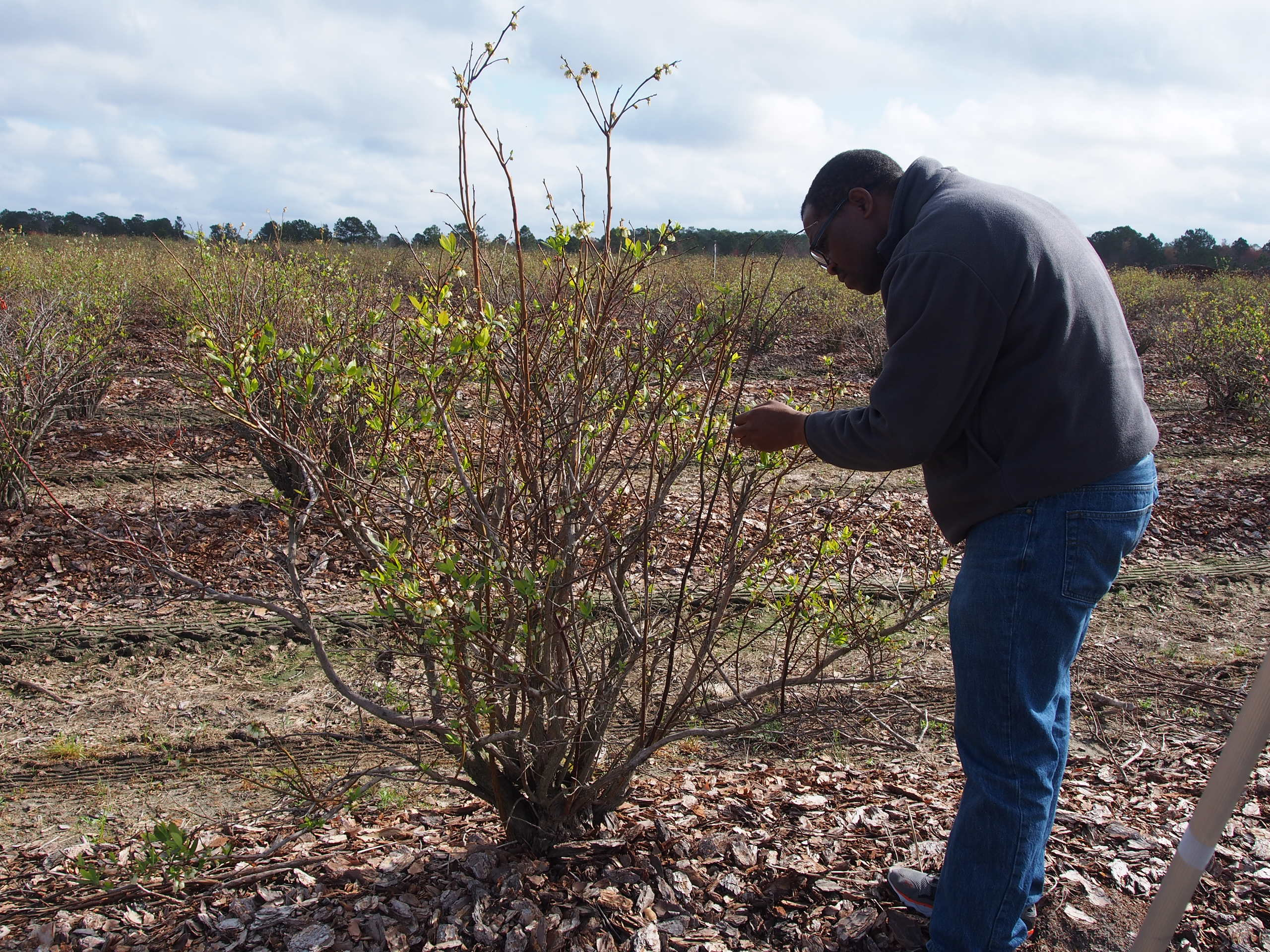 Postdoctoral Research Associate Joseph Disi inspects blueberries during the field presentations at the UGA Blueberry Team's 2018 Integrated Pest Management Team's Field Day in Alma, Georgia.