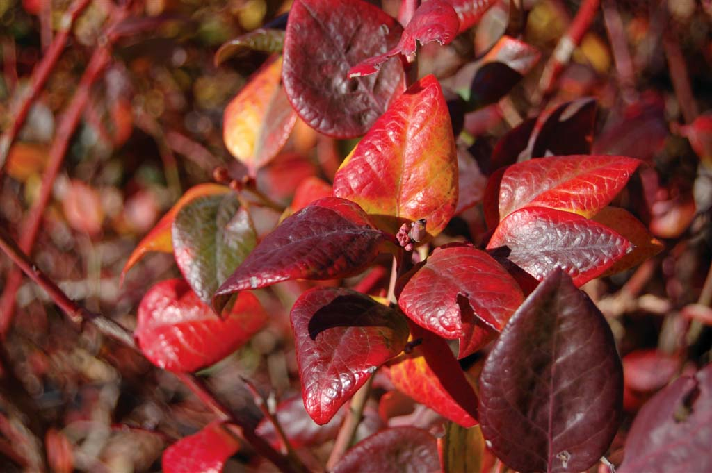 Blueberry plants are a perfect addition to home landscapes because they provide foliage and edible fruit. Unlike many blueberry plants, the Blue Suede variety (shown) holds on to its foilage throughout the year. It is brightly colored in the fall and green in the winter.