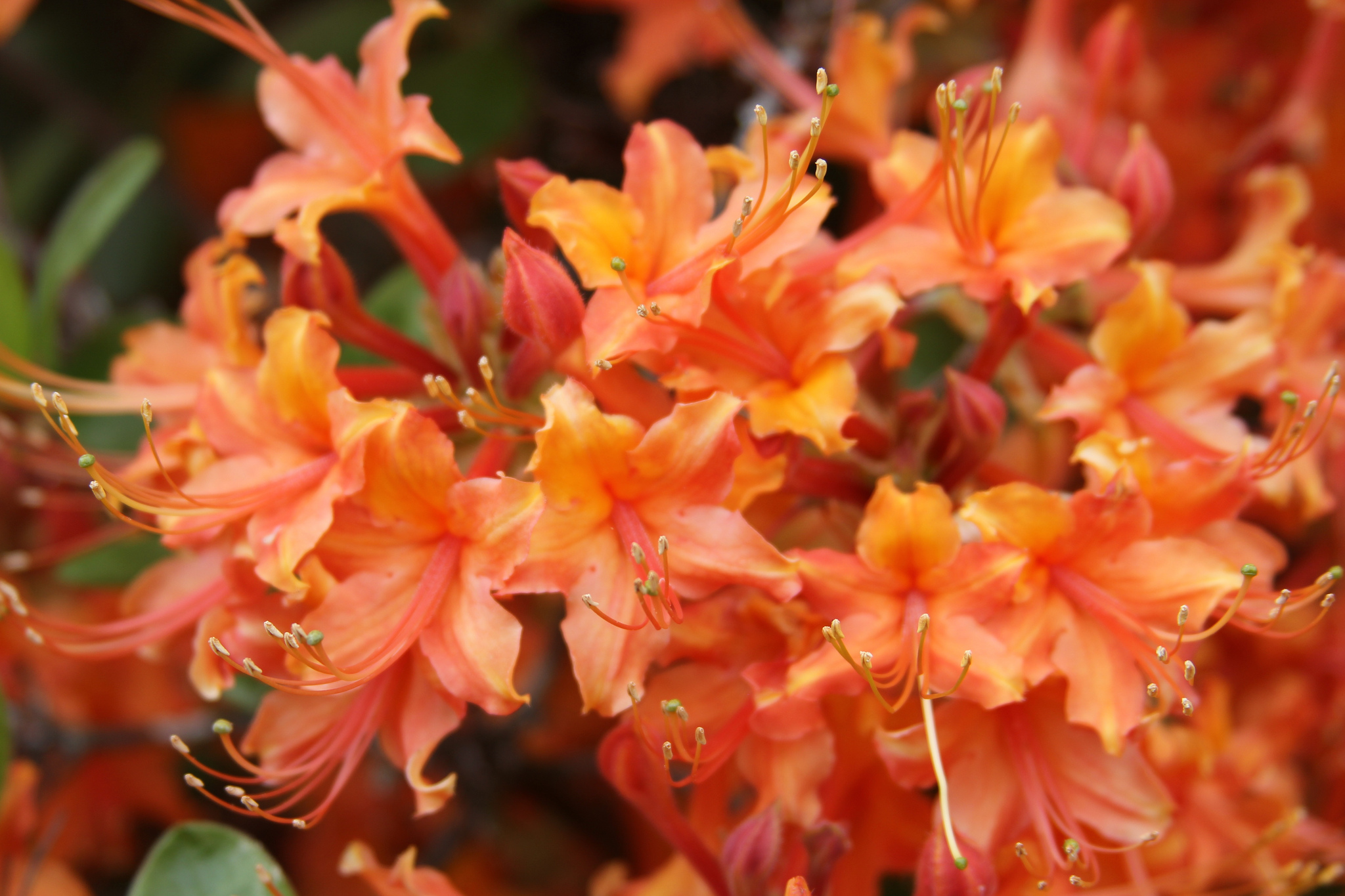 Native azaleas typically have tubular flowers with long stamens that extend beyond their petals. University of Georgia scientist Carol Robacker is studying many of the native azaleas that grow in the Piedmont region to determine which ones are adapted to Georgia.