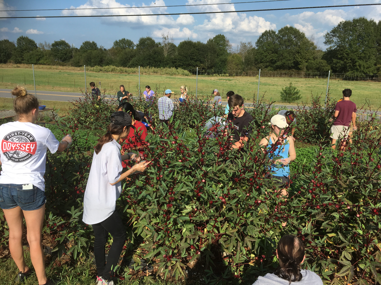 Students at the University of Georgia student-run farm UGArden harvest hibiscus seed pods so that they gather the calyxes for tea.