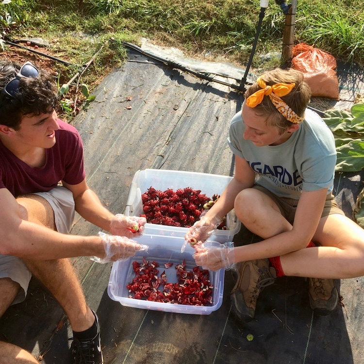 Students peel hibiscus calyxes from the seed pods that form from the plant's showy flowers. The calyxes are used for brewing tea high in vitamin C.