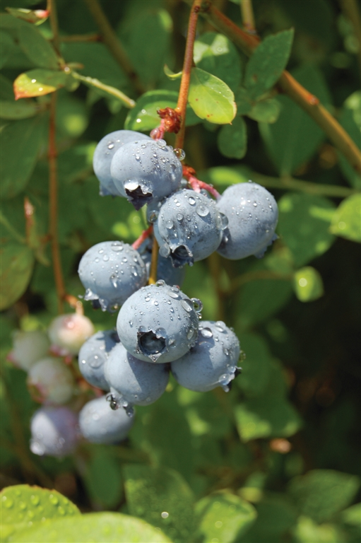Blue Suede blueberries