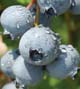 The Blue Suede blueberry is bred for home gardeners who want to plant one, or just a few, plants. It can even be grown as a patio container plant.