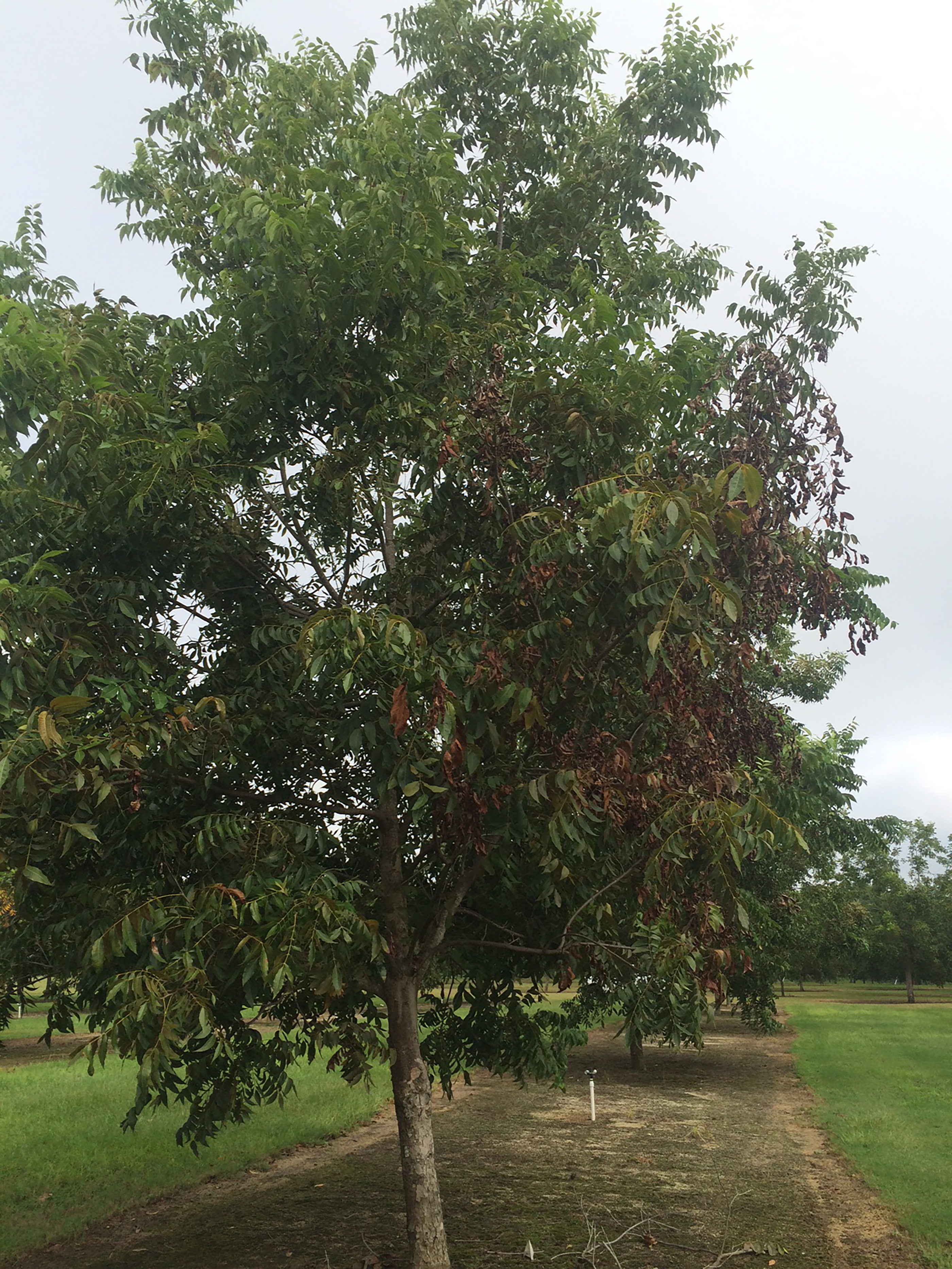 Pecan tree shows damage from research study.