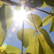 Sun shines brightly through foliage.